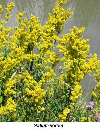 galium spp rubiaceae dicotyl dones plantes rizi res camargues cirad. Black Bedroom Furniture Sets. Home Design Ideas